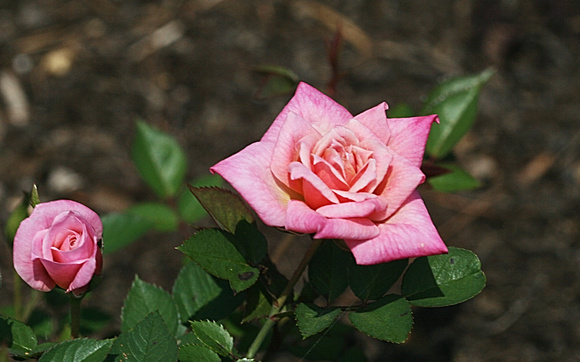 First Roses: May 16